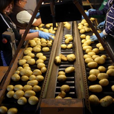 Kartoffeln auf dem Laufband