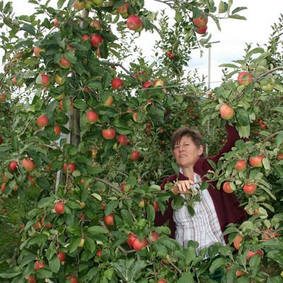 Frau beim Apfelpflücken