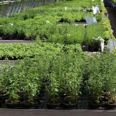 Gewächshaus mit vielen Kräuterpflanzen