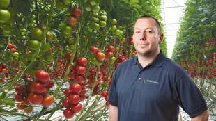 Ein Mitarbeiter steht zwischen zwei Tomatenpflanzreihen mit teils reifen Früchten