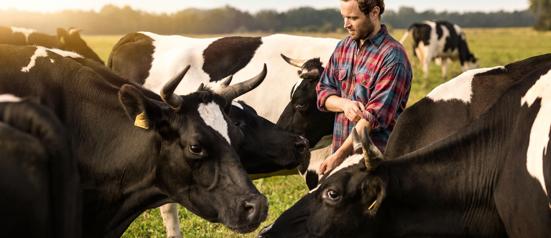 Landwirt zwischen Kühen auf Weide