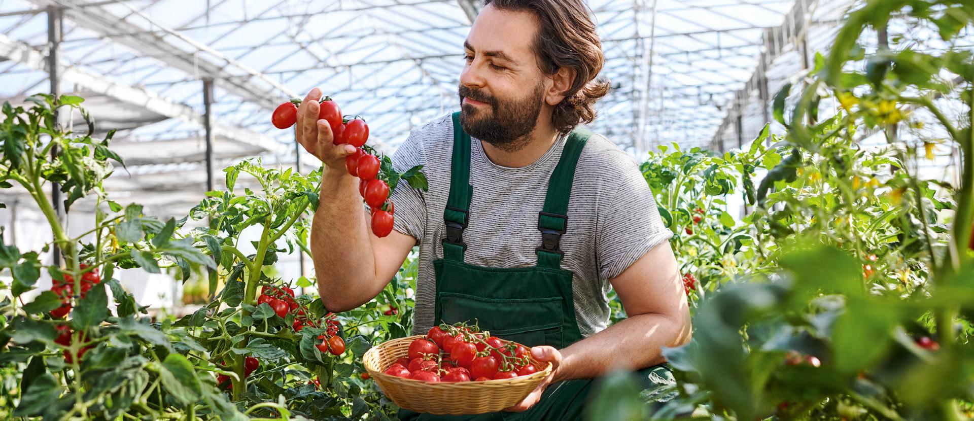Frische Mann mit Tomaten in den Haenden im Gewaechshaus