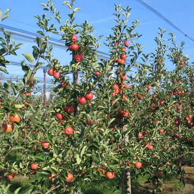 Äpfelbäume