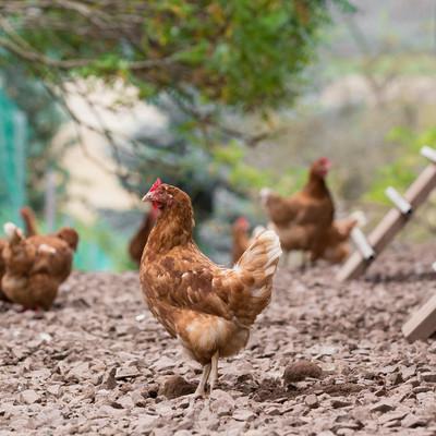 Hühner auf dem Boden
