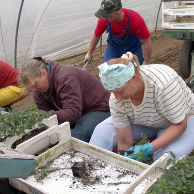 Erntearbeiter bei der Ernte in einem Gewächshaus