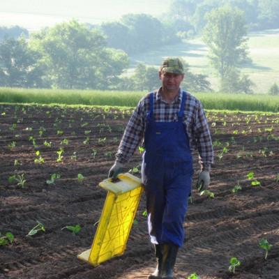 Landarbeiter beim Kuerbispflanzen setzen