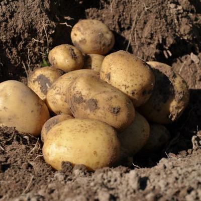 Kartoffeln liegen auf einem Feld