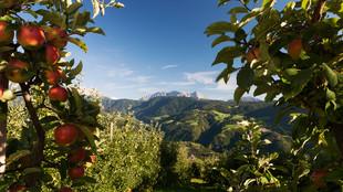 Blick auf die Alpen zwischen zwei Apfelbäumen hindurch