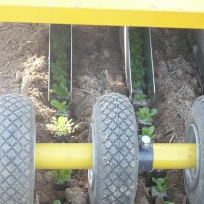 Feldsalat wir auf einem Feld gesetzt