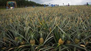 Eine Ananasplantage vor der Ernte