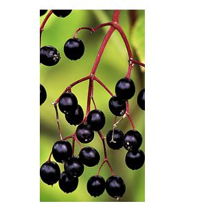 Abbildung Holunderbeere