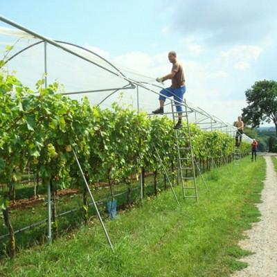 Mann steht auf Leiter und befestigt Plane über Weinstöcken
