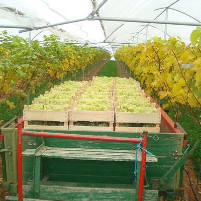 Anhänger mit hellen Trauben zwischen Weinstöcken