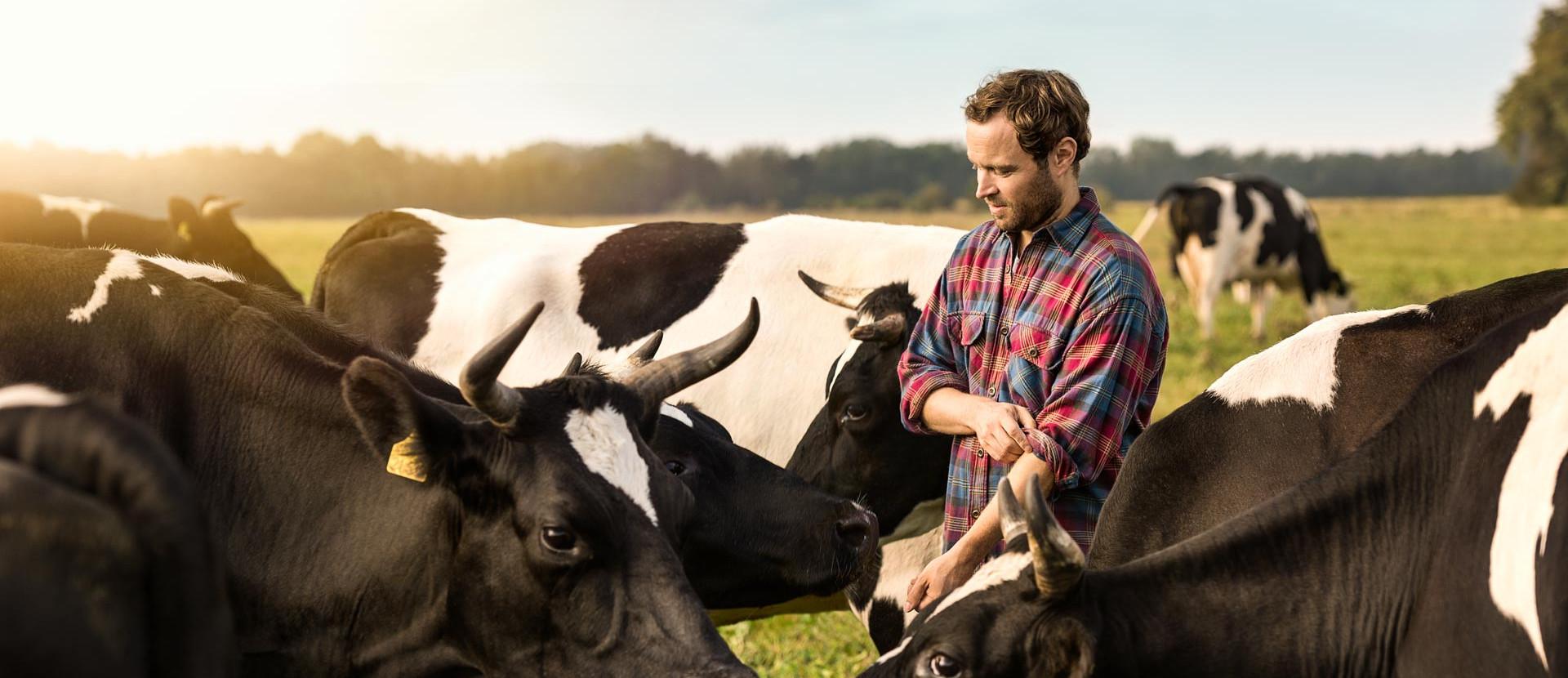 Milchbauer zwischen Kühen