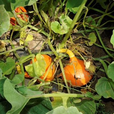 Kürbispflanze mit Kürbisse