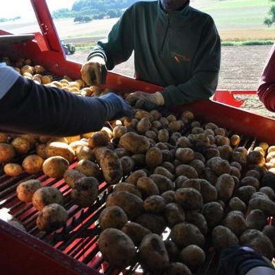 Kartoffel liegen auf einem Sortierwagen