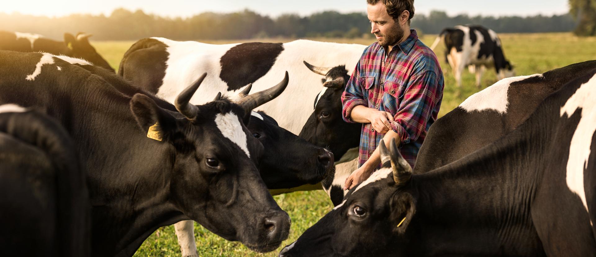 Bauer mit Kühen auf der Weide