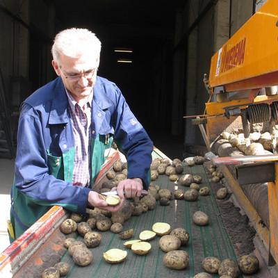 Mann überprüft Kartoffeln auf dem Laufband