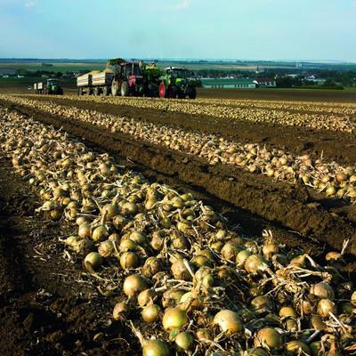 Traktoren auf einem Feld mit Zwiebeln