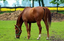 ein Pferd auf einer Wiese
