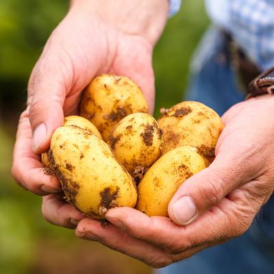 Hände halten Kartoffeln