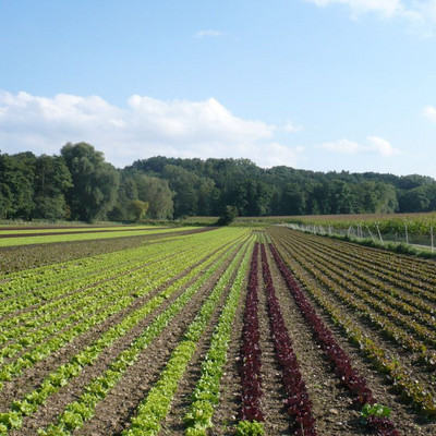 Salatfelder