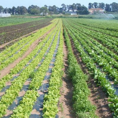 ein Feld mit Salat