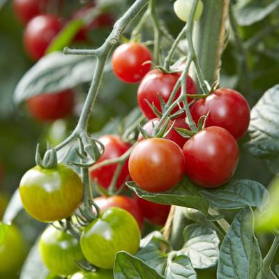 rote und grüne Tomaten an einem Strauch