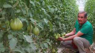Mann vor Tomatenplantage in Italien