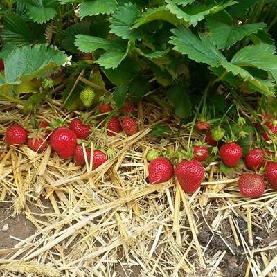 Erdbeerpflanzen mit Erdbeeren