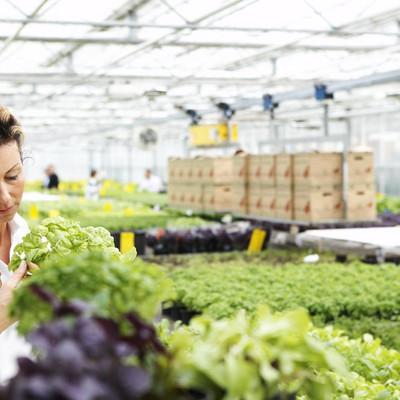 Mitarbeiterin überprüft eine Basilikumpflanze im Gewächshaus