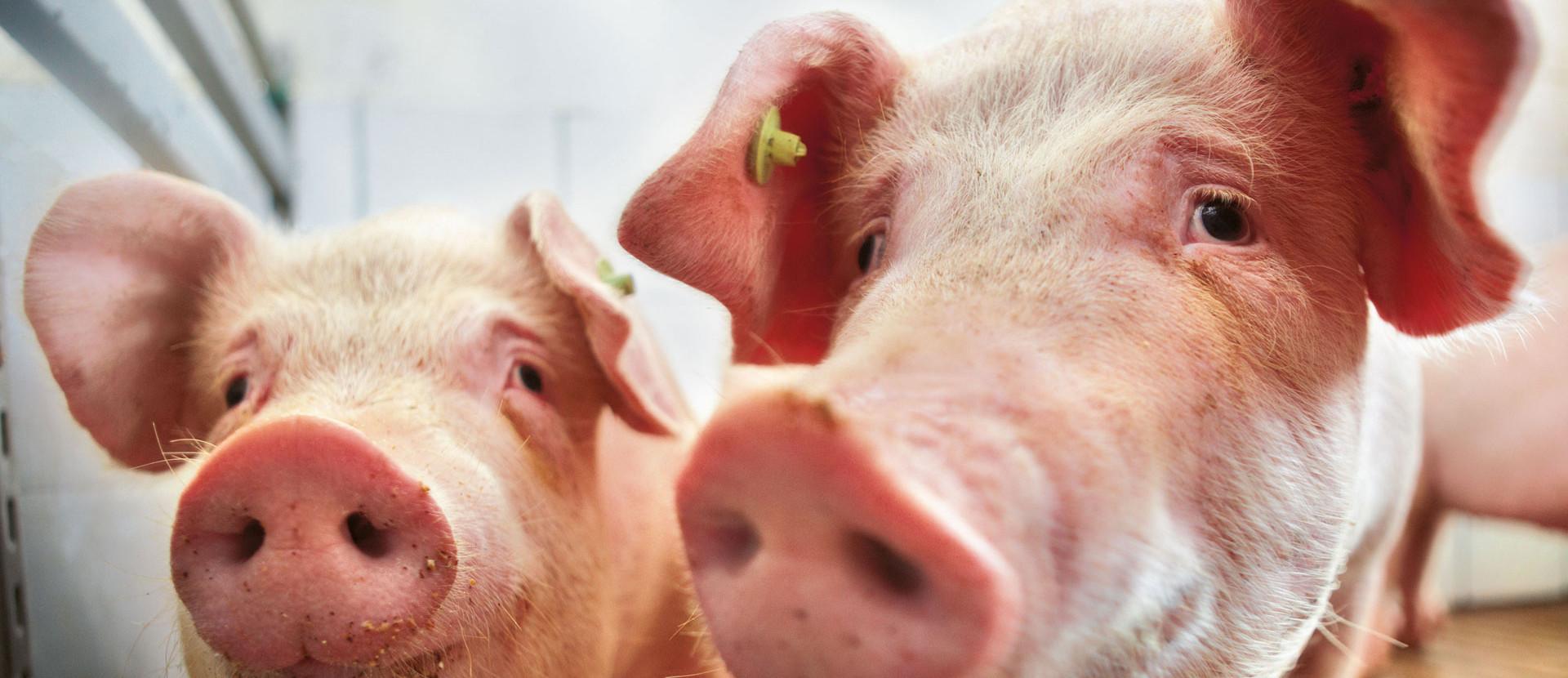 zwei Schweine im Stall