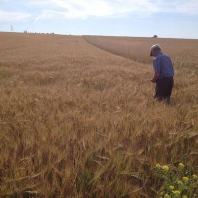 ein Mann steht in einem Gerstenfeld