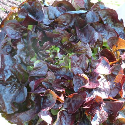 ein Salatkopf