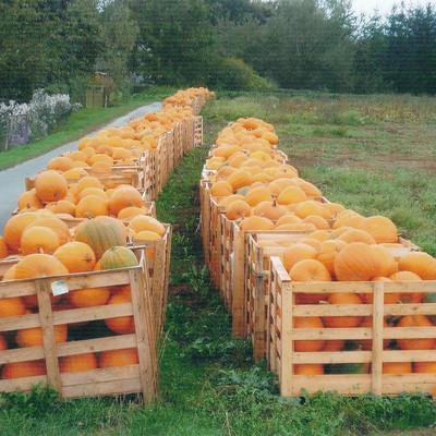 Holzkisten mit Kürbissen auf einem Feld