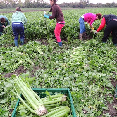 Fleißige Mitarbeiter am Gemüsefeld