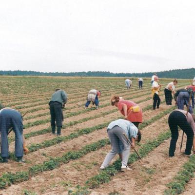 Mitarbeiter ernten auf einem Feld