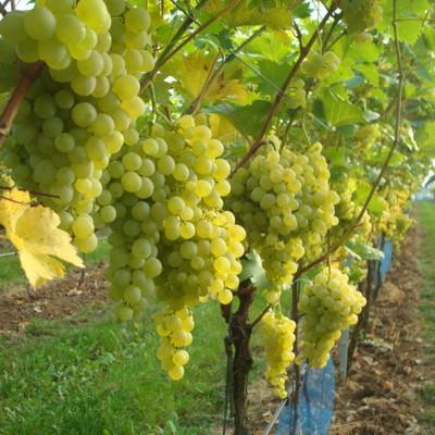 helle Trauben an Weinstöcken hängend