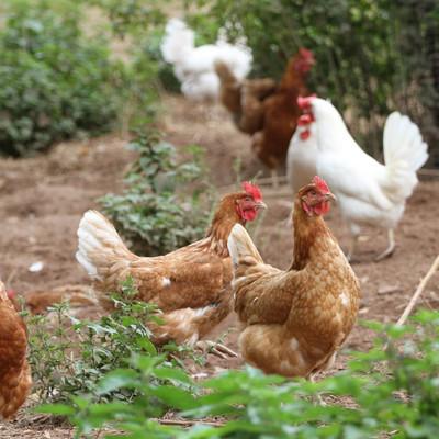 Hühner im Freilaufgehäge