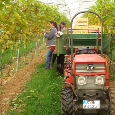 Traktor mit Anhänger, Mann und Frau zwischen Weinreben