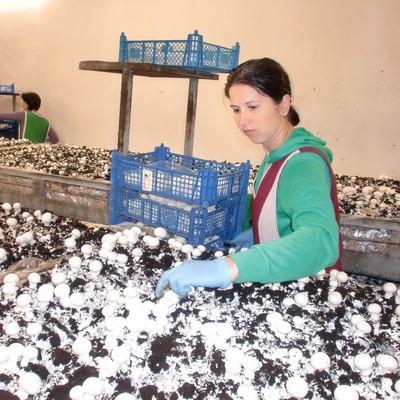Mitarbeiterinnen setzen Champignons in blauen Kisten