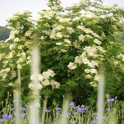Holunderstrauch mit weißen Holunderblüten