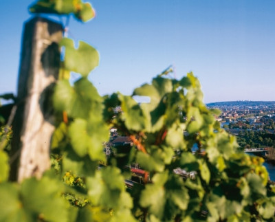 Weinberg mit Weinreben bei Würzburg