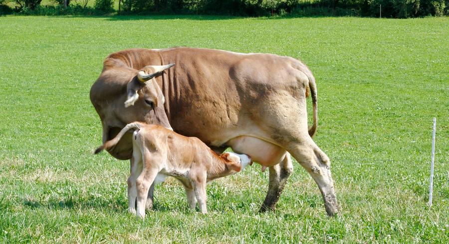 Kuh und Kalb auf einer Weide
