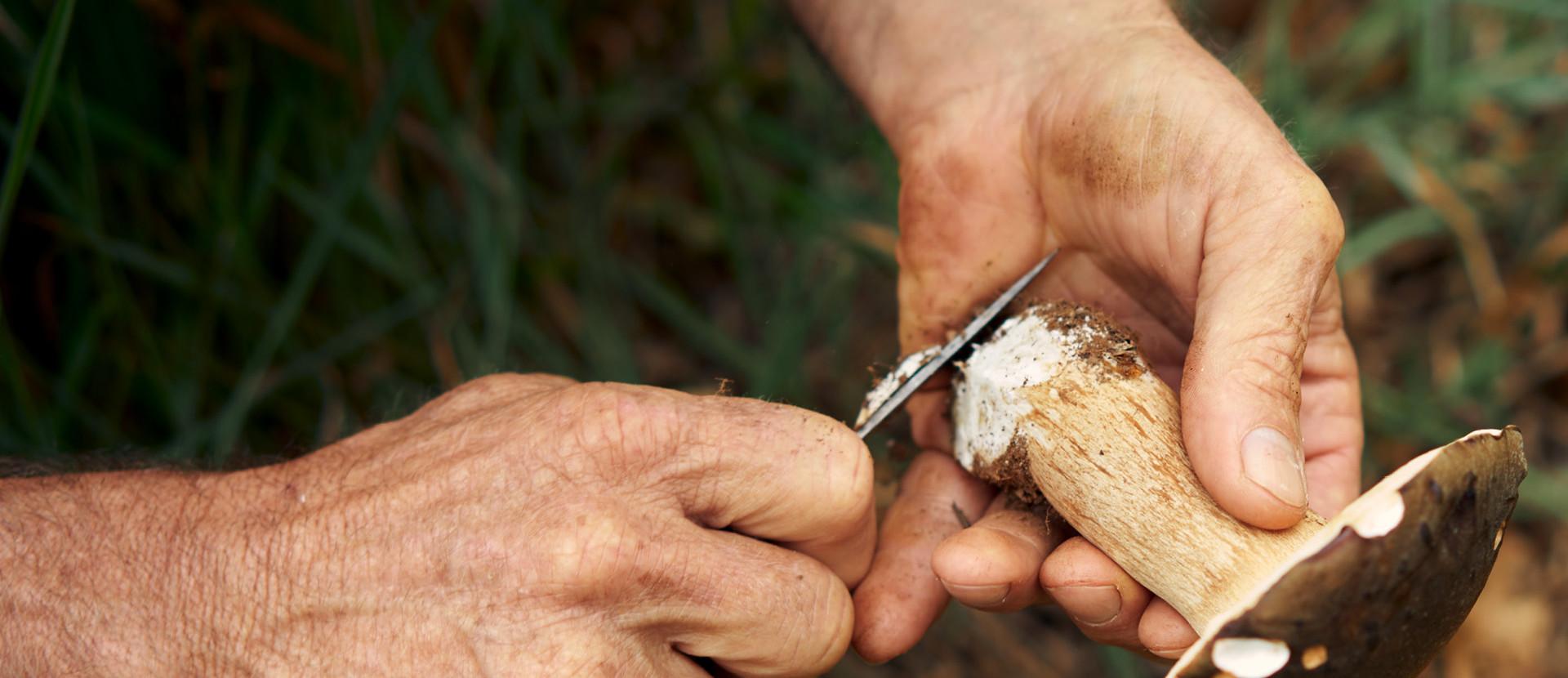zwei Hände schneiden einen Pilz