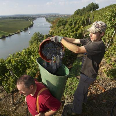 """Weinlese über dem Neckar im Anbaugebiet """"Am Krappenfelsen"""""""