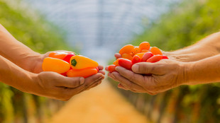 Hände halten Minipaprikas und Tomaten