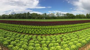 Salatpflanzreihen verschiedener Sorten auf dem Acker