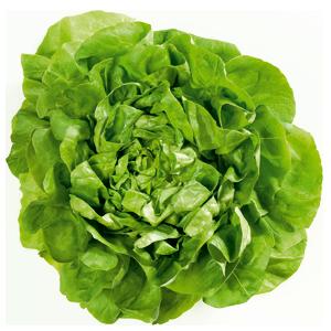 Abbildung Kopfsalat