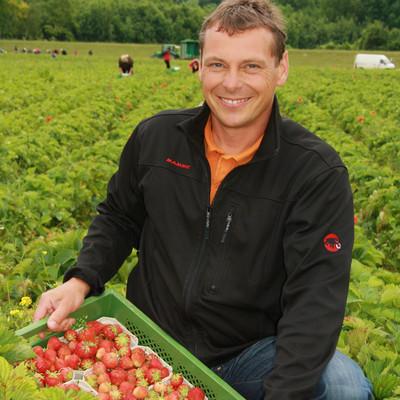 Mann erntet frische Erdbeeren